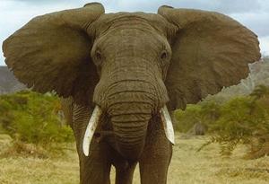 Kahve falında fil görmek