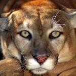 Puma Burcu