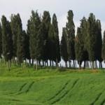 Selvi Ağacı Burcu