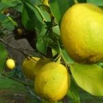 Misket Limonu Burcu