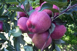 Elma Ağacı Burcu