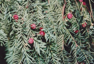 Porsun Ağacı Burcu