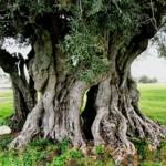 Zeytin Ağacı Burcu
